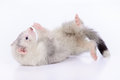 Small rodent ferret animal on a white background Stock Image
