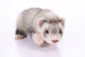 Small rodent ferret animal on a white background Royalty Free Stock Photo