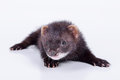 Small rodent ferret animal on a white background Royalty Free Stock Photos
