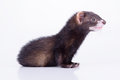 Small rodent ferret animal on a white background Stock Images