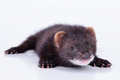 Small rodent ferret animal on a white background Royalty Free Stock Images