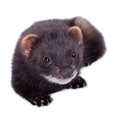 Small rodent ferret animal on a white background Stock Photos
