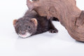 Small rodent ferret animal on a white background hiding under a wooden snag Stock Photography