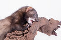 Small rodent ferret animal on a white background sharpening his teeth on a wooden snag Stock Image