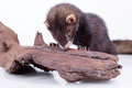 Small rodent ferret animal on a white background sharpening his teeth on a wooden snag Stock Images