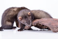Small rodent ferret two animal on a white background Royalty Free Stock Photos