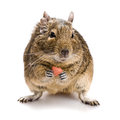 Small rodent with food in paws full size front view isolated on white background Royalty Free Stock Photo