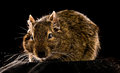 Small rodent full size front view on black background Royalty Free Stock Images