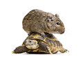 Small rodent on turtle riding full size front view white background Royalty Free Stock Photos
