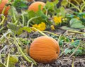 Small round pumpkin with curly vine growing in pumpkin patch fie Royalty Free Stock Photo