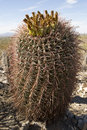Small saguaro cactus closeup in the sonoran desert Royalty Free Stock Image