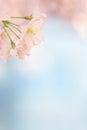 Small sakura blossom tree blooming Royalty Free Stock Photo