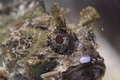 Small scaled scorpionfish the detail of Stock Image
