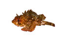 Small scaled scorpionfish scorpaena porcus isolated on white background Stock Photography
