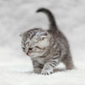 Small scottish fold kitten posing on white background Royalty Free Stock Photo
