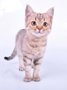 Small scottish straight kitten walking towards cute month old studio shot Royalty Free Stock Photography