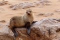 Small sea lion - Brown fur seal in Cape Cross, Namibia Royalty Free Stock Photo
