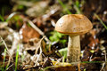 Small shaggy boletus Stock Photography