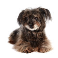 Small shaggy mongrel Royalty Free Stock Photo