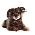 Small shaggy mongrel lies Stock Photo
