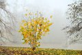 Small shrub with yellow leaves in misty morning autumn Stock Photos
