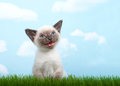 Small siamese kitten meowing in grass Royalty Free Stock Photo