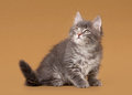 Small siberian kitten Stock Photography