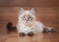 Small siberian kitten Stock Image