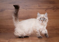 Small siberian kitten Royalty Free Stock Photos
