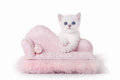 Small silver british kitten on pink divan Stock Image