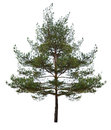 Small single pine isolated on white Stock Photography