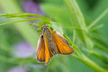 Small skipper butterfly sunning itself on a plant sweet peas with wings opened Royalty Free Stock Photography