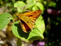 Small skipper butterfly thymelicus sylvestris on a leaf Stock Photo