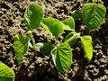 Small soy plants growing on a bed in sunny day Royalty Free Stock Photo