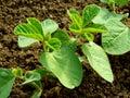 Small soya plants Royalty Free Stock Photos