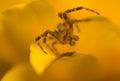 Small spider Araneidae Royalty Free Stock Photo