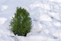 Small spruce in the winter woods Royalty Free Stock Photo