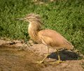 Small squacco heron Ardeola ralloides with his hackles up Royalty Free Stock Photo