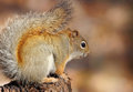 Small squirrel Stock Photos