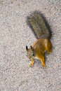 Small squirrel Royalty Free Stock Images