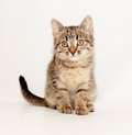 Small striped kitten sitting on gray background Royalty Free Stock Photos