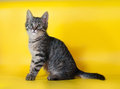 Small striped kitten sitting on yellow background Royalty Free Stock Photography