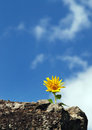 Small sunflower helianthus annuus with blue sky in the background Stock Images