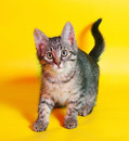 Small tabby kitten sneaks up on yellow background Royalty Free Stock Image
