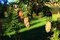 Small tall cones and fresh green needles of coniferous hemlock tree, possibly Eastern Hemlock, latin name Tsuga Canadensis Royalty Free Stock Photo
