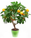 Small tangerines tree Royalty Free Stock Images