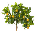 Small tangerines tree on white background Royalty Free Stock Photo