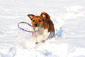 Small terrier playing with toy in snow Stock Photos