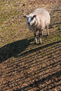 Small texel sheep walking by fence Royalty Free Stock Images