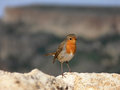 Small thin bird with red orange breast European Robin redbreas Royalty Free Stock Photo